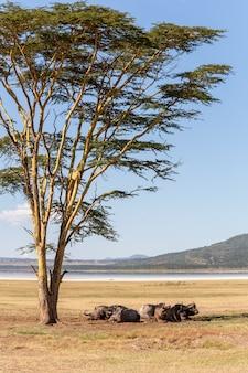 Buffles sauvages d'afrique dans la savane