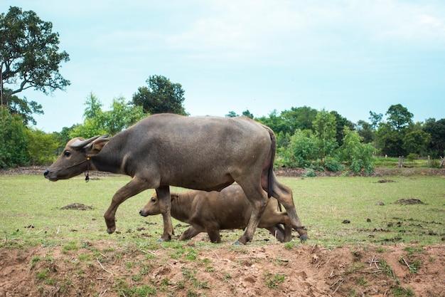 Buffles de thaïlande dans la rizière