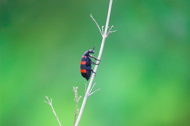 Bug de scarabée