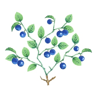 Buisson d'aquarelle de myrtille.