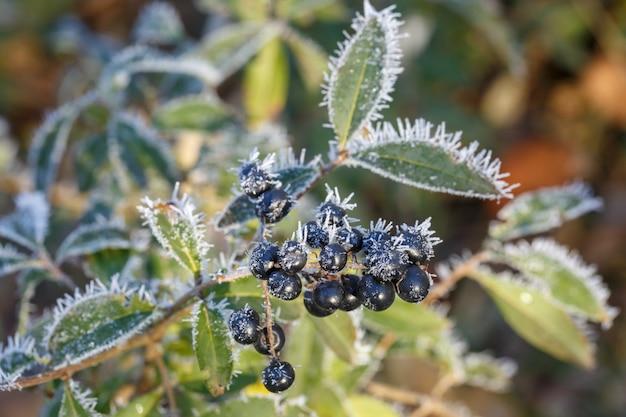 Buisson aux baies noires recouvertes de givre