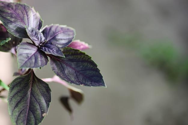 Buisson de basilic violet