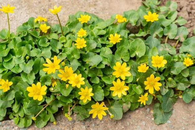 Buisson de belles couleurs jaunes sur une dalle de béton
