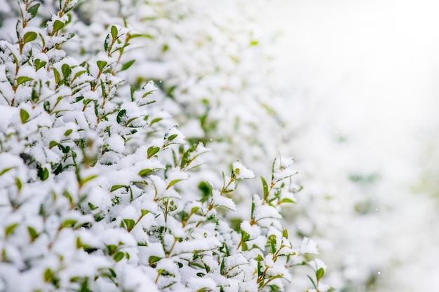 Buisson de buis couvert de neige avec des feuilles vertes sur fond clair
