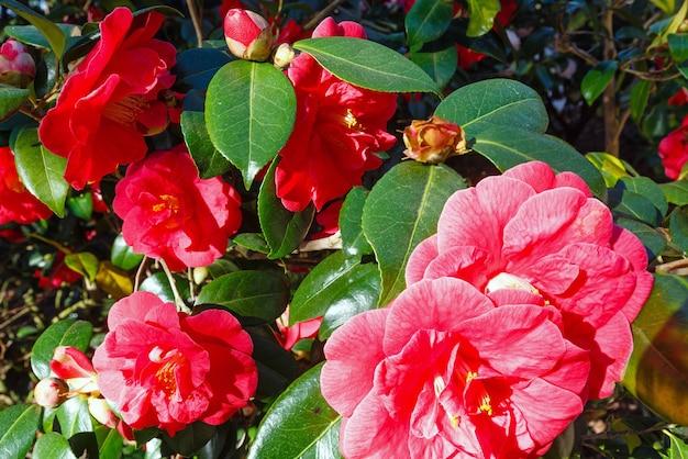 Buisson de camélia en fleurs avec des fleurs rouges et des feuilles épaisses au printemps
