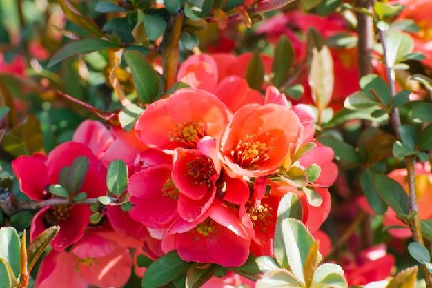 Buisson de coing japonais avec de délicates fleurs écarlates