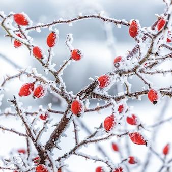 Buisson d'églantier aux fruits rouges recouverts de givre sur fond clair_