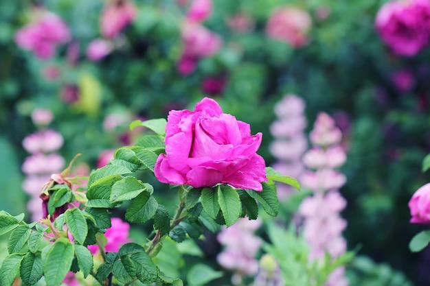Buisson d'églantier rose dans le jardin d'été printemps
