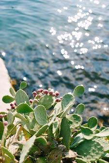 Un buisson de figue de barbarie de la famille des cactus près de l'eau bleue avec l'éblouissement du soleil