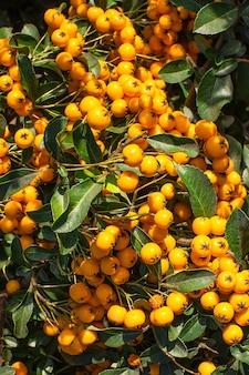Buisson fleuri aux baies jaunes. gros plan de baies jaunes