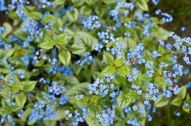Buisson fleuri de myosotis, bleu.