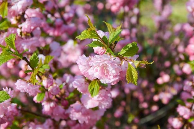 Buisson à fleurs avec de belles fleurs roses au printemps