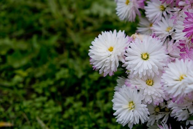 Buisson de fleurs de chrysanthèmes avec vert