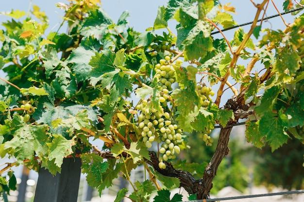 Un buisson avec des grappes de raisins blancs en feuilles vertes