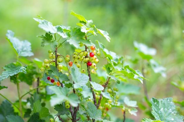 Buisson de groseille. mûrissement de baies juteuses riches en vitamines. jardinage.
