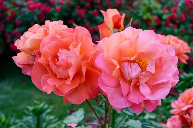 Buisson luxuriant de roses rose vif sur fond de nature. jardin de fleurs. fermer
