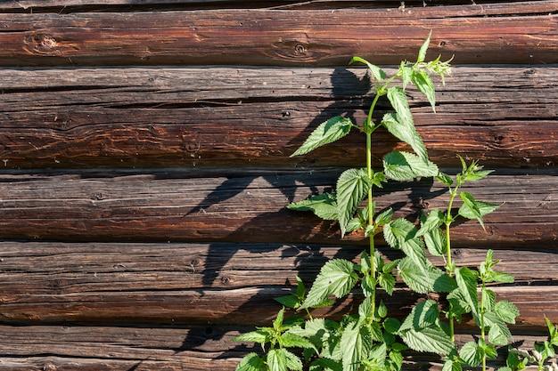 Un buisson d'ortie verte sur un mur en rondins de bois.