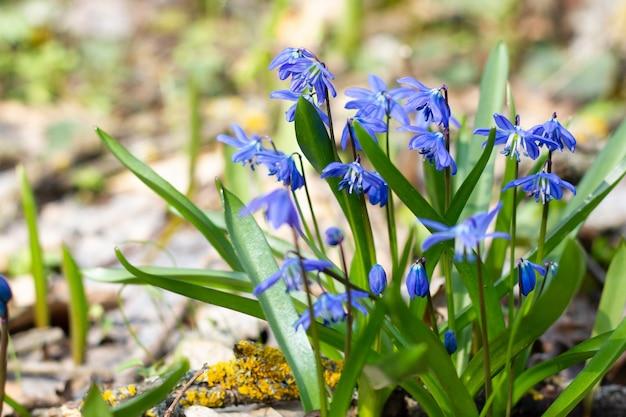 Un buisson de perce-neige bleu au début du printemps