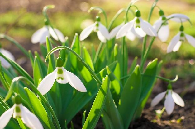 Buisson de petites fleurs blanches de printemps