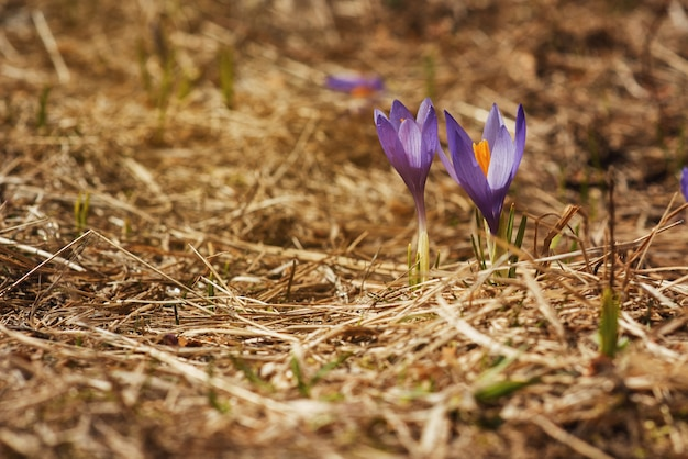 Un buisson de plusieurs fleurs de crocus qui fleurit parmi l'herbe sèche. fleur sauvage, primevère. fermer