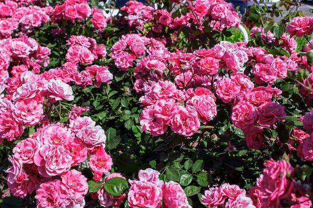 Buisson de roses sur une belle journée d'été