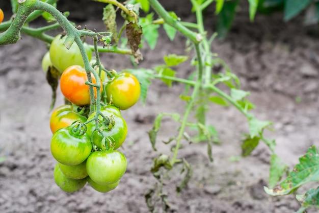 Buisson de tomate aux fruits verts immatures et rouges