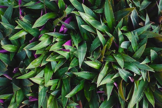 Buisson de tradescantia spathacea à feuilles vertes
