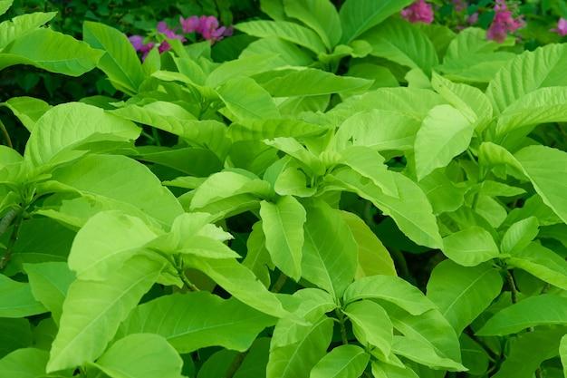 Buisson vert avec des feuilles dans le jardin