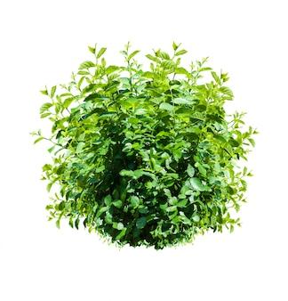 Buisson vert isolé