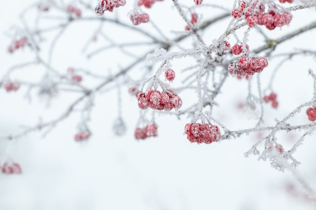 Buisson de viorne avec baies rouges et branches couvertes de givre