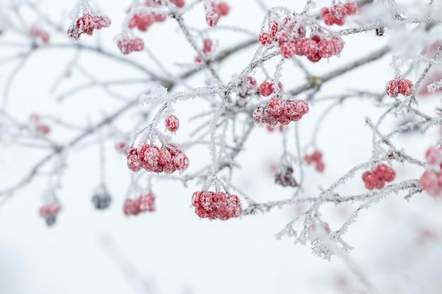 Buisson de viorne avec des baies rouges et des branches couvertes de givre