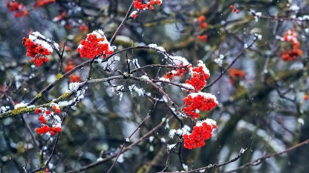 Buisson de viorne couvert de neige avec des baies rouges sur fond sombre