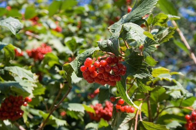 Un buisson de viorne rouge dans une journée ensoleillée d'automne