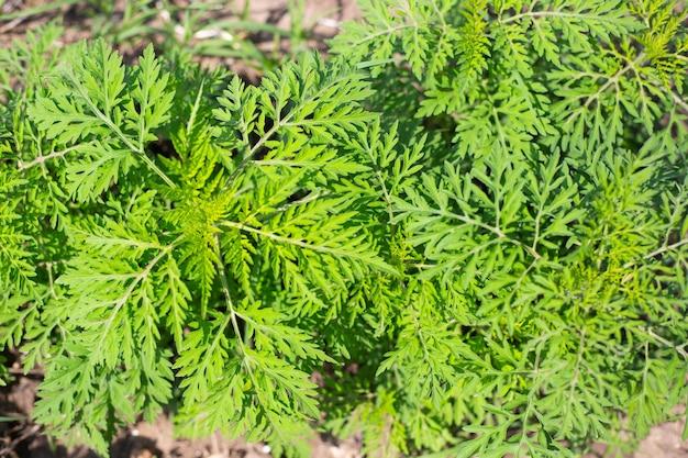 Buissons d'ambroisie en été. plante adventice vivace provoquant une forte réaction allergique, le rhume des foins.