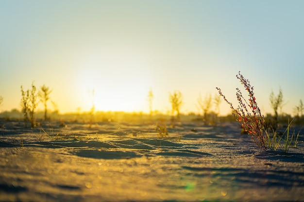 Buissons et arbres dans le désert le soleil brille. le soleil se couche à l'horizon dans le désert