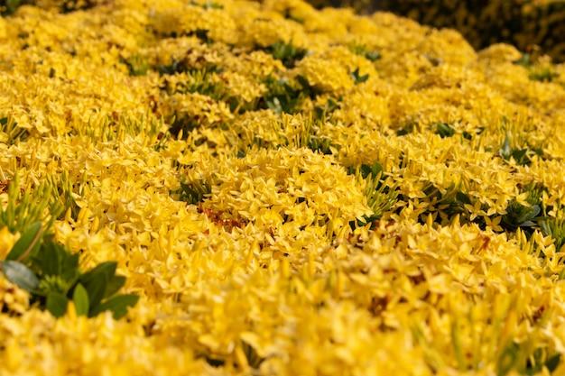 Buissons de fleurs ixora jaune