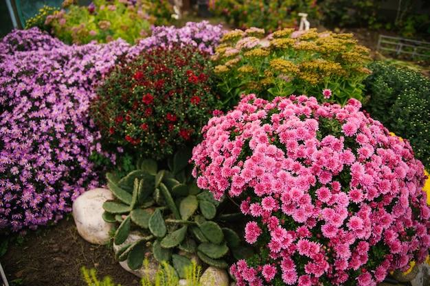 Des buissons de fleurs de jardin poussent dans un parterre de fleurs avec un buisson duveteux. automne beau fond. texture naturelle. décoration de cour.
