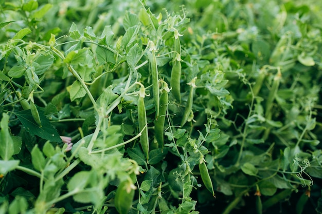 Buissons de haricots verts poussant au soleil