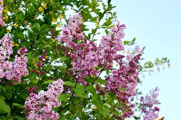 Buissons de lilas jardin à l'abandon printemps été