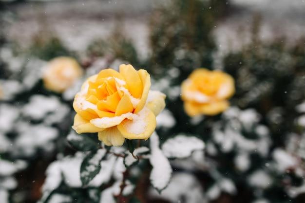 Buissons de roses jaunes couvertes de neige dans un parc d'hiver.