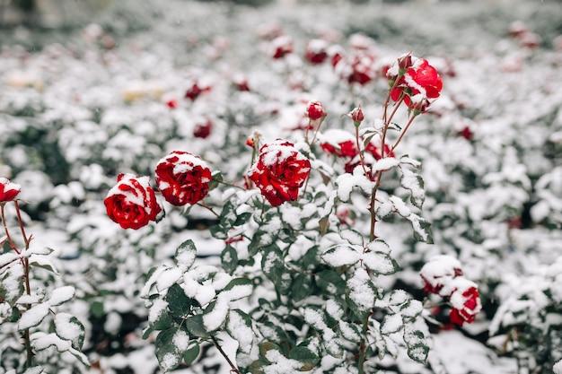 Buissons de roses rouges recouverts de neige dans un parc d'hiver. buissons verts de fleurs roses rouge foncé sous la couche de neige blanche.