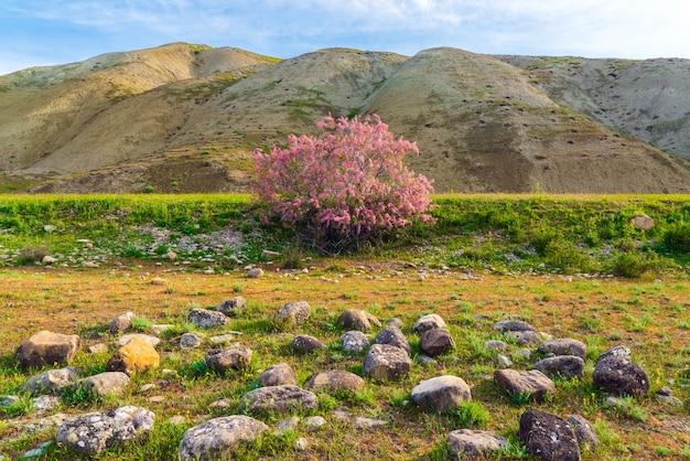 Buissons de tamarix en fleurs dans une vallée de montagne