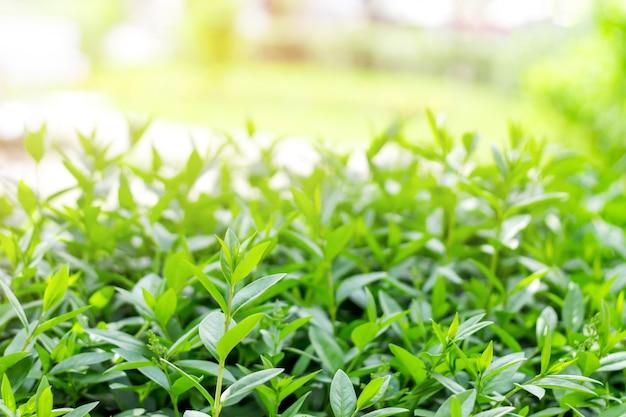 Buissons verts sur fond de soleil. feuilles vertes sur un fond de parc. verdure, nature avec espace de copie pour le texte.