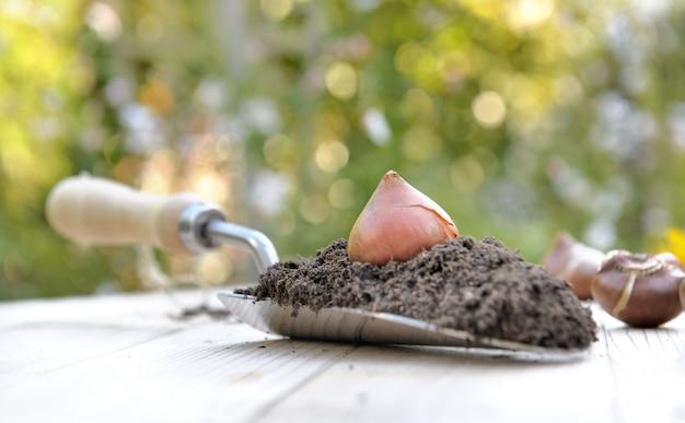 Bulbe de tulipe mis sur une truelle pleine de terre