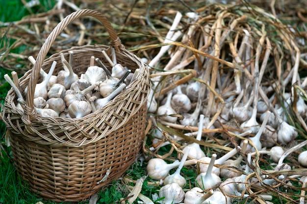 Bulbes d'ail mûrs dans un panier de strow et sur l'herbe verte à l'extérieur