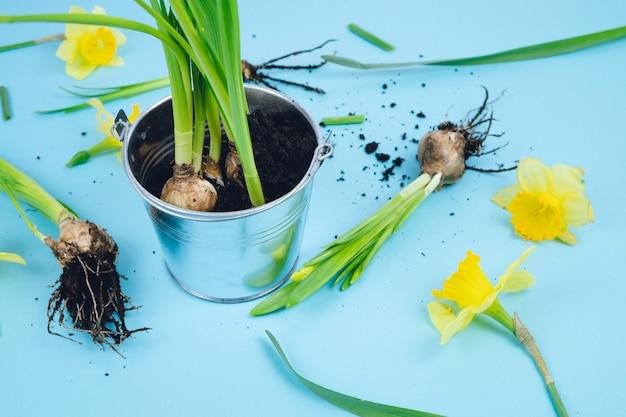 Bulbes de printemps sur fond bleu prêts pour la transplantation. concept de jardinage. jonquilles.