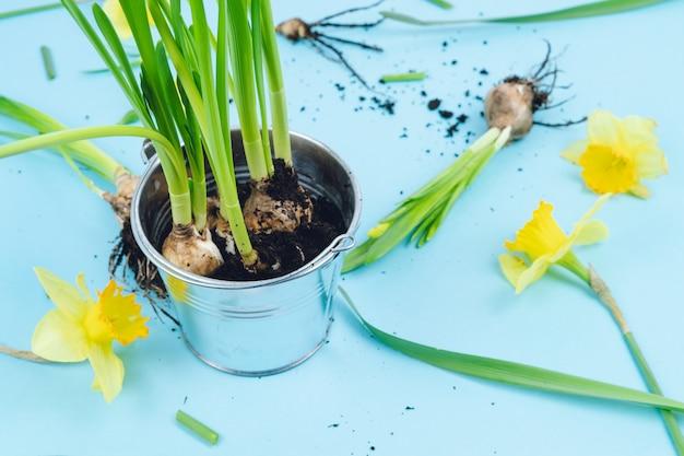 Bulbes de printemps prêts pour la transplantation. concept de jardinage.