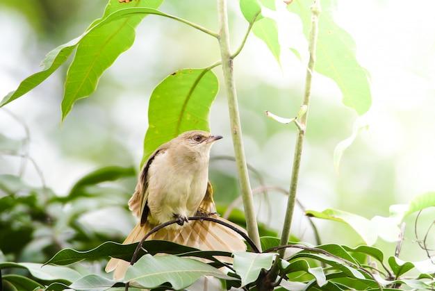 Bulbul à oreilles rayées se tenant debout sur des branches en forêt. l'oiseau est dans le fond de la nature.