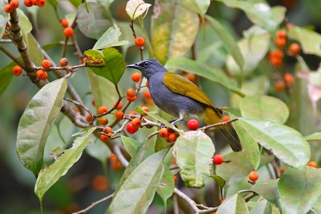 Bulbul à ventre gris beaux oiseaux de thaïlande