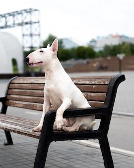 Bull terrier anglais blanc assis sur un banc en bois au bord de l'eau.
